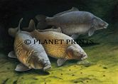 Planet Prints Carp Art - Three Cautious Carp