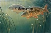 Planet Prints Carp Art - Mirror Mirror